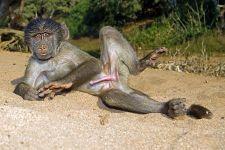 AC-Benny-Rebel-Fotoreise-Suedafrika-Pavian