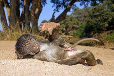 AD-Benny-Rebel-Fotoreise-Afrika-Pavian