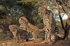 AD-Benny-Rebel-Fotoreise-Suedafrika-Gepard