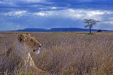 AD-Benny-Rebel-Fotoreise-Tansania-Loewe