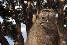 AE-Benny-Rebel-Fotoreise-Afrika-Pavian