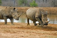 AE-Benny-Rebel-Fotoreise-Swaziland-Breitmaul-Nashorn
