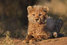 AF-Benny-Rebel-Fotoreise-Suedafrika-Gepard