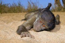 AG-Benny-Rebel-Fotoreise-Suedafrika-Pavian