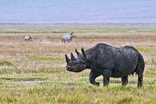 AG-Benny-Rebel-Fotoreise-Tanzania-Nashorn-Spitzmaul