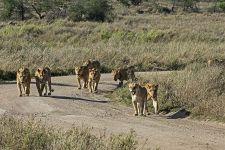 AH-Benny-Rebel-Fotoreise-Suedafrika-Loewe