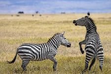 AH-Benny-Rebel-Fotoreise-Tansania-Zebra