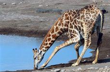 AKAA-Benny-Rebel-Fotoreise-Kenia-Giraffe