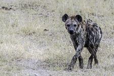 AM-Benny-Rebel-Fotoreise-Kenia-Hyaene