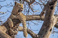 AM-Benny-Rebel-Fotoreise-Suedafrika-Leopard