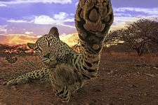 AN-Benny-Rebel-Fotoreise-Suedafrika-Leopard