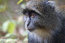 ANA-Benny-Rebel-Fotoreise-Tansania-DiademMeerkatze