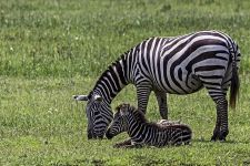 AS-Benny-Rebel-Fotoreise-Kenia-Zebra