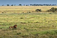 ASDA-Benny-Rebel-Fotoreise-Tansania-Loewe