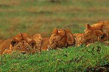 AT-Benny-Rebel-Fotoreise-Kenia-Loewe