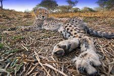 ATB-Benny-Rebel-Fotoreise-Suedafrika-Gepard