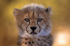 AX-Benny-Rebel-Fotoreise-Suedafrika-Gepard