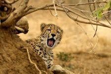 AY-Benny-Rebel-Fotoreise-Suedafrika-Gepard
