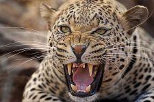 BAA-Benny-Rebel-Fotoreise-Suedafrika-Leopard-202