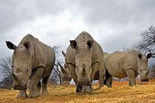 BB-Benny-Rebel-Fotoreise-Suedafrika-Breitmaul-Nashorn