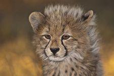 BB-Benny-Rebel-Fotoreise-Suedafrika-Gepard