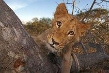 BDA-Benny-Rebel-Fotoreise-Suedafrika-Loewe