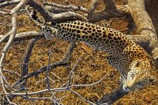 BE-Benny-Rebel-Fotoreise-Afrika-Leopard