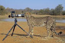 BED-Benny-Rebel-Fotoreise-Suedafrika-Gepard