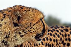 BL-Benny-Rebel-Fotoreise-Suedafrika-Gepard
