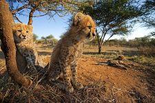BW-Benny-Rebel-Fotoreise-Suedafrika-Gepard