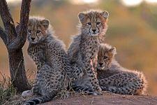 BX-Benny-Rebel-Fotoreise-Suedafrika-Gepard