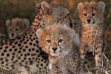 BY-Benny-Rebel-Fotoreise-Suedafrika-Gepard