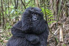 CAK-Benny-Rebel-Fotoreise-Berg-GorillaRuanda