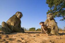 CEB-Benny-Rebel-Fotoreise-Suedafrika-Pavian