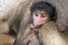 CEQ-Benny-Rebel-Fotoreise-Suedafrika-Pavian