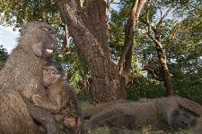 CES-Benny-Rebel-Fotoreise-Tansania-Pavian