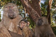 CET-Benny-Rebel-Fotoreise-Tansania-Pavian