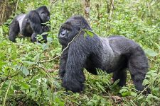 DAI-Benny-Rebel-Fotoreise-Berg-GorillaRuanda