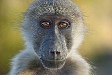 DC-Benny-Rebel-Fotoreise-Suedafrika-Pavian