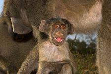 DD-Benny-Rebel-Fotoreise-Suedafrika-Pavian