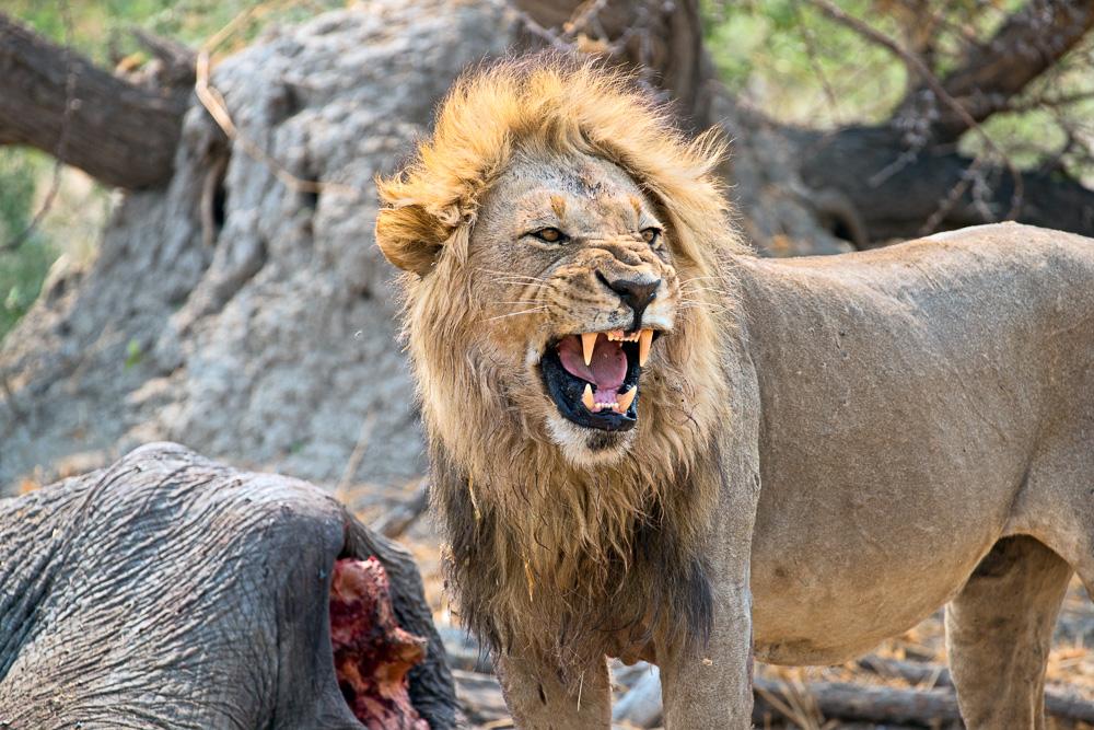 Löwenbrüllen, Foto, Rebel, Safari