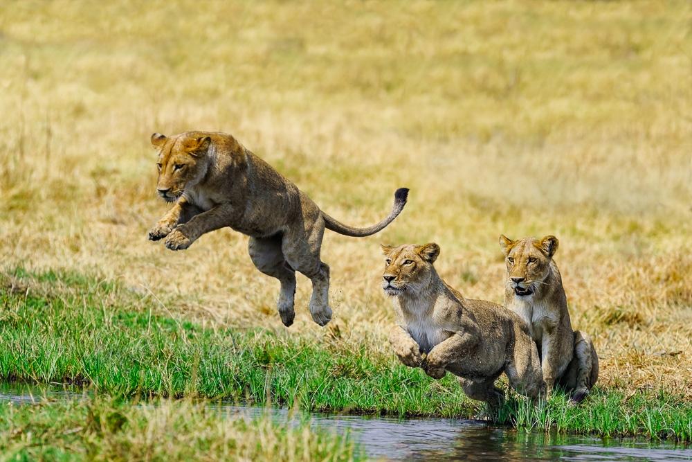 Fotografie, Fotourlaub, Simbabwe, Löwen