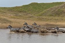 HA-Benny-Rebel-Fotoreise-Tansania-Zebra