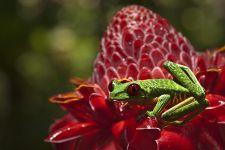 KG-Benny-Rebel-Fotoreise-Frosch-Costa-Rica