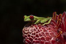 OA-Benny-Rebel-Fotoreise-Frosch-Costa-Rica