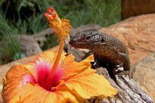 OG-Benny-Rebel-Fotoreise-Suedafrika-Giant-Plated-Lizard