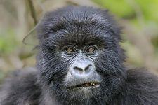 PAD-Benny-Rebel-Fotoreise-Berg-GorillaRuanda