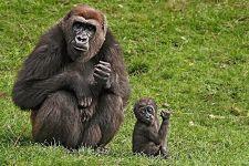 PAE-Benny-Rebel-Fotoreise-Gorilla