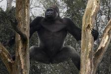 PAF-Benny-Rebel-Fotoreise-Gorilla