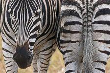 PO-Benny-Rebel-Fotoreise-Suedafrika-Zebra